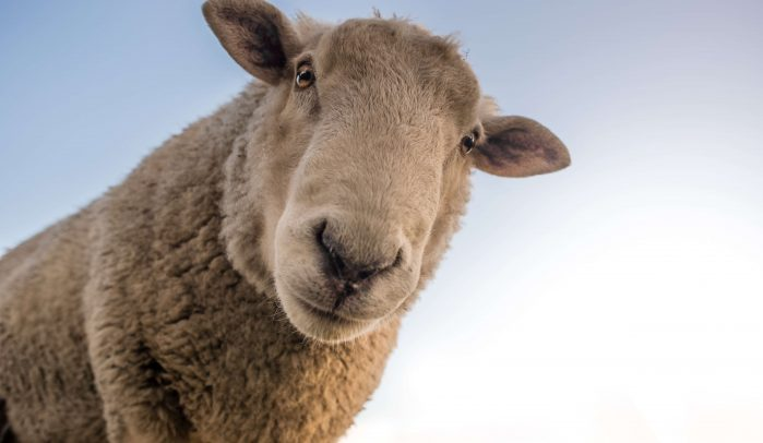 Sheep's-face-looking-down-into-camera
