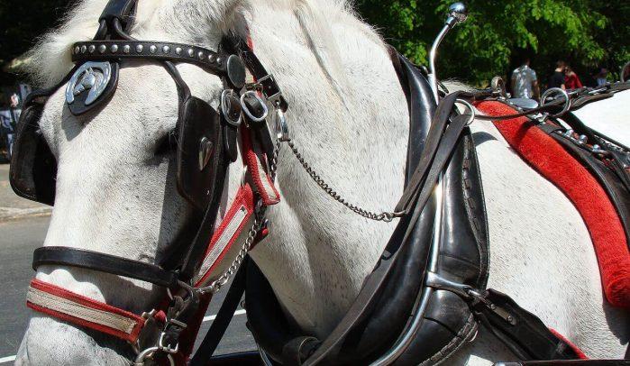 White-Shire-horse-wearing-blinkers