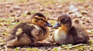 Two-little-brown-ducklings-sitting-on-soil