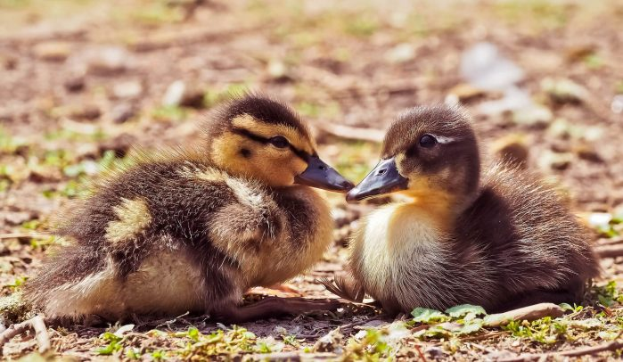 Two-little-brown-ducklings-sitting-on-soil