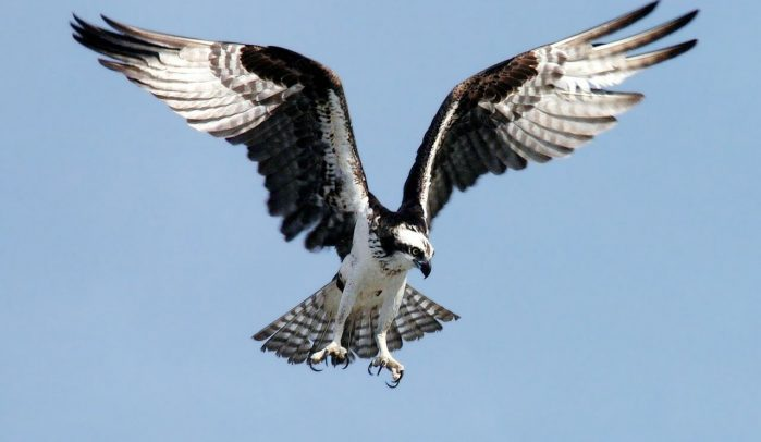 Bird-of-prey-ready-to-pounce