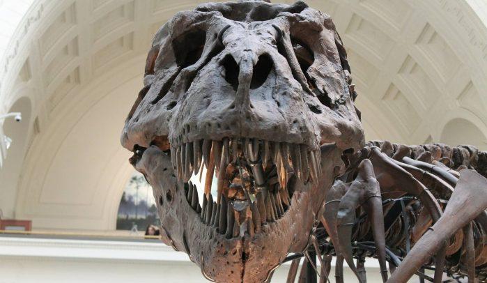 T-Rex-skull-looking-into-camera