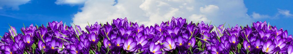 Purple-crocuses-under-cloudy-sky