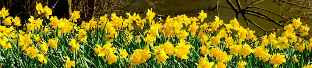 Daffodils-in-a-wood