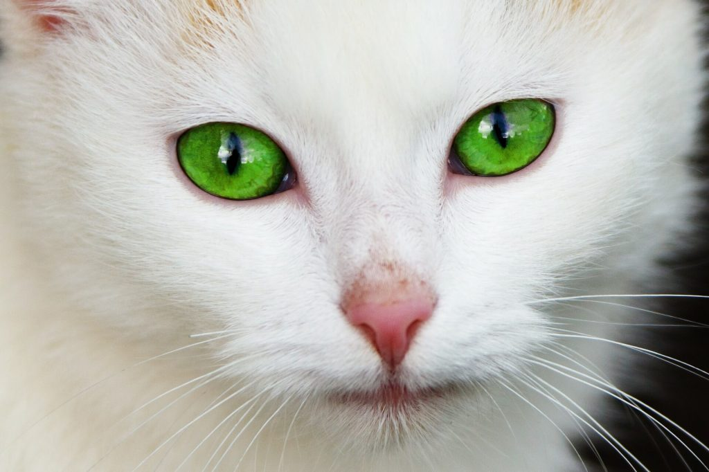 White-cat-with-vivid-green-eyes