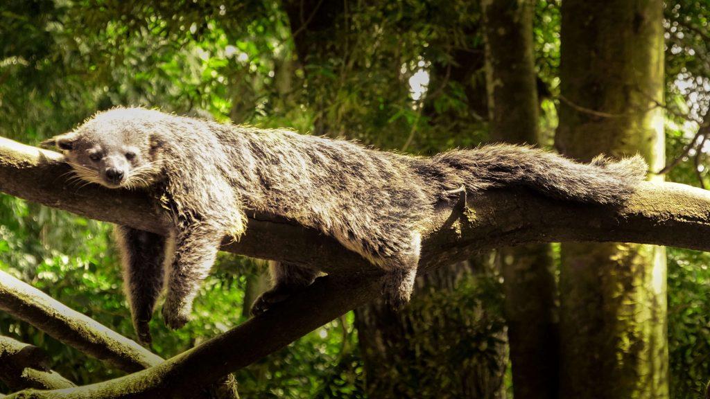 Lazy-mammal-dozing-on-tree-branch