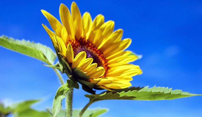 Sunflower-against-blue-sky